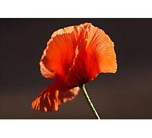 Backlit Poppy Photographic Print