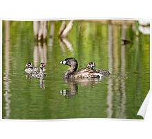 Pied Billed Grebe and Babies - Ottawa, Ontario Poster