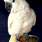 White Cockatoo Rescue by BevsDigitalArt
