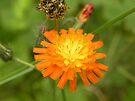 Orange Dandelion by rhian mountjoy