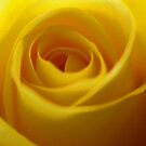 Yellow Rose by Stretch75