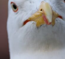 seagull posing for the photographer Sticker