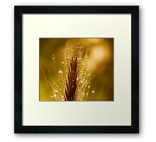 wheat of gold Framed Print