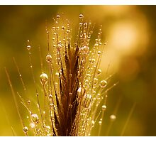 wheat of gold Photographic Print