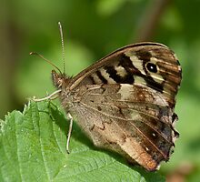Speckled Wood by Gill Langridge