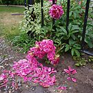 Peony Petals by DarylE