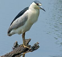 Black Crowned Night Heron by Michael Mill