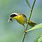 Common Yellowthroat with Insects by Michael Mill