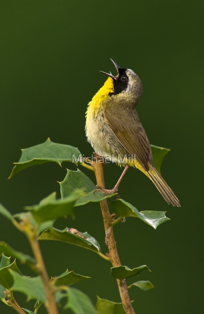 Singing Common Yellowthroat by Michael Mill
