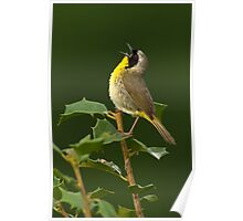 Singing Common Yellowthroat Poster