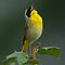 Common Yellowthroat Shouting Out by Michael Mill