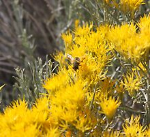 Wild Bee gathering Sagebrush Honey by Roz Fayette