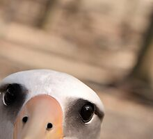 Curious Laysan Albatross by Gina Ruttle  (Whalegeek)