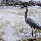 Great Blue Heron by jules572