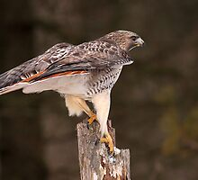 Killer Complex / Red Tailed Hawk  by Gary Fairhead
