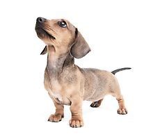 Dachshund Standing Tall by Andrew Bret Wallis