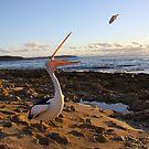 Australian Pelican by Catherine Whitehead