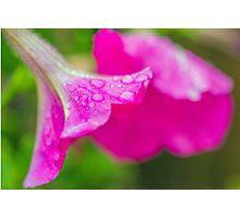 Petunia Flower and Raindrops Photographic Print