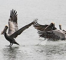 Pelicans Chasing each other for a Fish by Paulette1021
