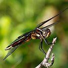 Dragofly by Dennis Cheeseman