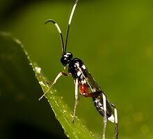 Black & White Striped Ichneumon Parasite Wasp by Jason Asher