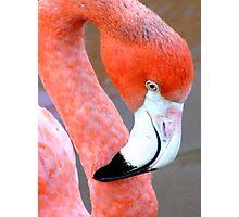 Flamingo  Photographic Print