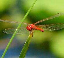 Dragonfly on Blade of Grass by elsha