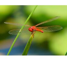 Dragonfly on Blade of Grass Photographic Print