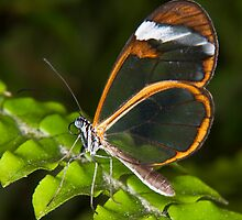 Glasswing by DonMc