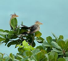 Strange Looking Cuckoos by Robert Abraham