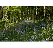 Patch of Bluebells Photographic Print