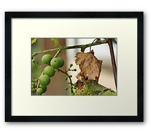 Grape Vine with Leaf Framed Print