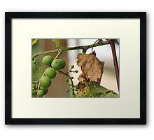 Grape Vine with Leaf Framed Print