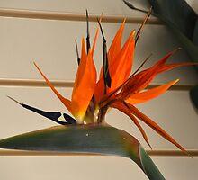 Bird of Paradise.......... by lynn carter