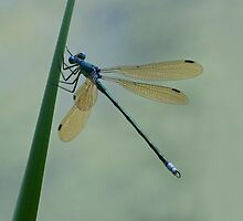 Blue Dasher by noffi