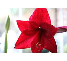 Single red amaryllis flower Photographic Print