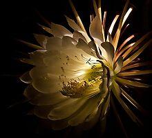Moonflower by FacetEyePhoto