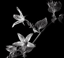 Campanula in Black and White by Endre