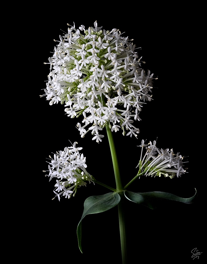 Centranthus Ruber Albus by Endre