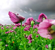 poppy in the storm by Dan Shalloe