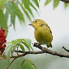 Warbler seeking Red! by Janika