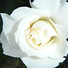 White Rose by Margaret Bonnes