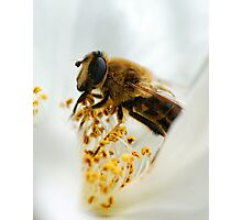 Drone Fly (Eristalis tenax) Photographic Print