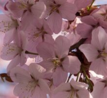 Pink Spring - A Cloud of Delicate Cherry Blossoms Sticker
