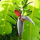 Banana flower and fruit by Laura Kelk