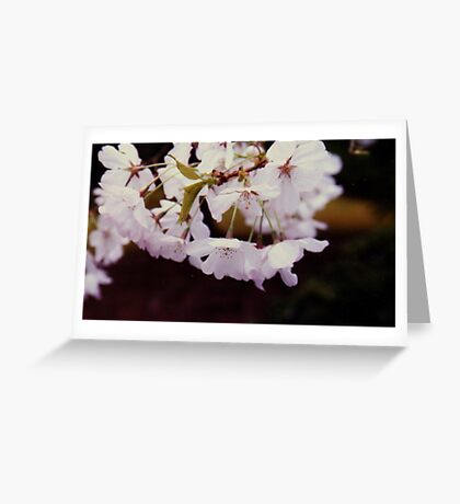 close up of cherry tree blossoms,Japanese tea garden Greeting Card
