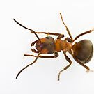 Scottish Wood Ant (Formica aquilonia) by Gabor Pozsgai