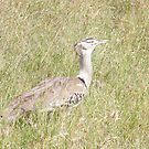 I found you - you're Bustard! by Laura Kelk