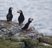 Puffins on the Farn islands in Northumberland by Carl Wass