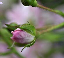 Simplistic Rosebud by Corkle